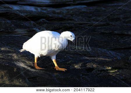White male of Kelp Goose, chloephaga hybrida, in Falkland Islands, Malvinas