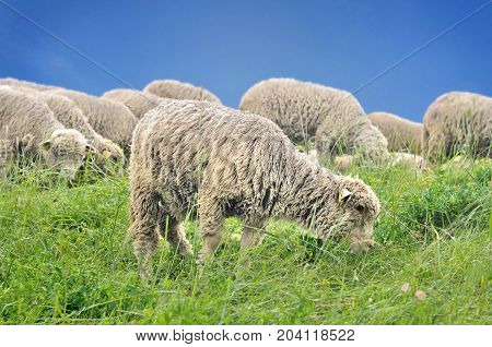 sheep grazing greenery herb in pasture under blue sky