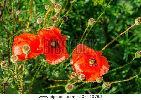 Red poppy flowers surrounded by a lot of poppy capsules on a green background of grass
