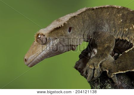 Very close profile portrait of a crested gecko with water droplets on its eye