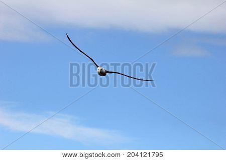 Flying Black Browed Albatross, thalassarche melanophris, Falkland Islands, Islas Mavinas