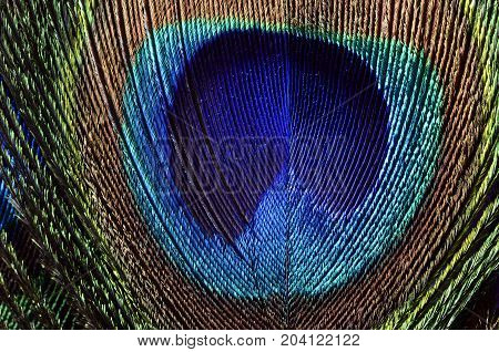 Peacock feathers macro for background or wallpaper