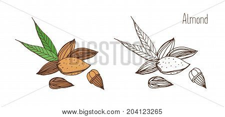 Beautiful colored and monochrome drawings of almond fruits in shell and shelled with pair of leaves. Delicious edible drupe or nut hand drawn in elegant vintage style. Natural vector illustration