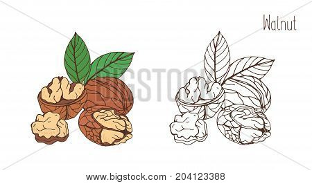 Colored and monochrome drawings of walnut in shell and shelled with pair of leaves. Delicious edible drupe or nut hand drawn in elegant vintage style. Natural vector illustration