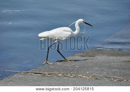 Little Egret feeding a cove near Venice