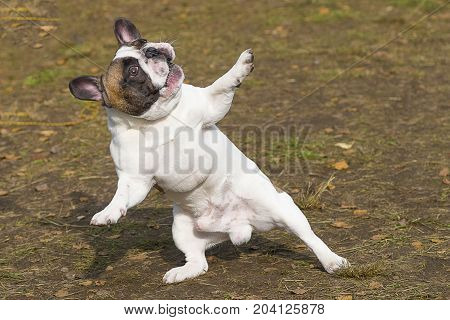 English Bulldog dancing dog, humor stands on its hind legs, spreads out its front paws, looks up. Against the background of a green blurred grass. Space under the text. 2018 year of the dog in the eastern calendar. Concept: parodist dogs, dog friend of ma