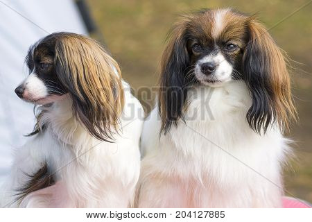 two dogs of the Papillon breed, one looks sadly with a sad look. Concept: emotions, resentment, sadness, separation. 2018 year of the dog in the eastern calendar Concept: parodist dogs, dog friend of man, true friends, rescuers.