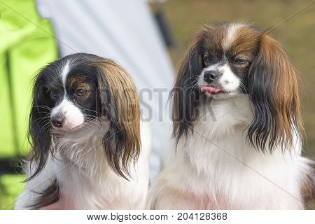 two dogs of the Continental toy spaniel Falen look into the camera, close-up. Space under the text. 2018 year of the dog in the eastern calendar Concept: parodist dogs, dog friend of man, true friends, rescuers.