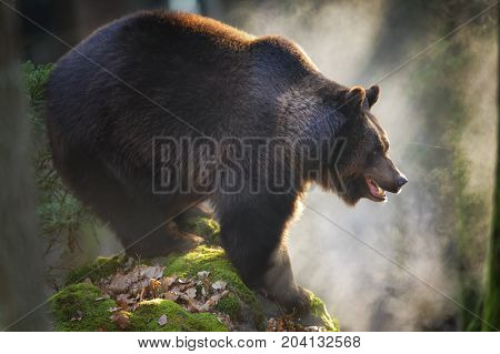 Massive brown bear standing on the rock with steam from the mouth