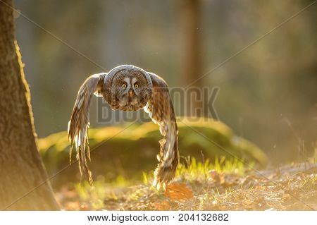 Flying great grey owl with backlight in evening forest