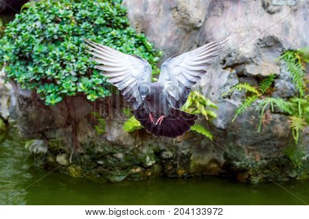 Flying City Pigeon Spread Its Wings. Scene In The Park