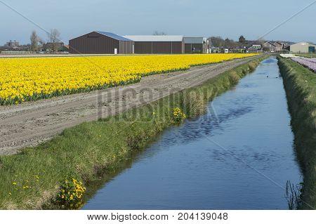 Blooming daffodil field in the area of Bollenstreek Netherlands