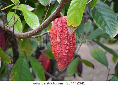 Cocoa fruit growing on the tree in Grenada