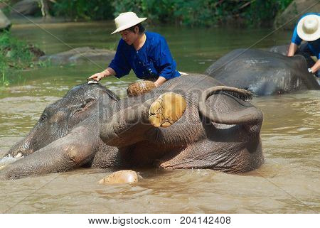 CHIANG MAI, THAILAND - MAY 09, 2008: Unidentified people bathe elephants in Mae Sa Noi river at Mae Sa elephant camp in Chiang Mai, Thailand.