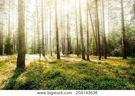 Forest sunrise. Clear wild forest summer panorama