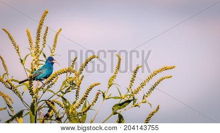 Indigo Bunting (Passerina cyanea) on green plant makes a very clean and simple retro vintage photo
