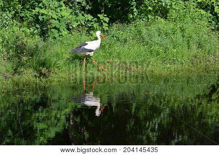 Beautiful White stork Ciconia walking on lake pond coast
