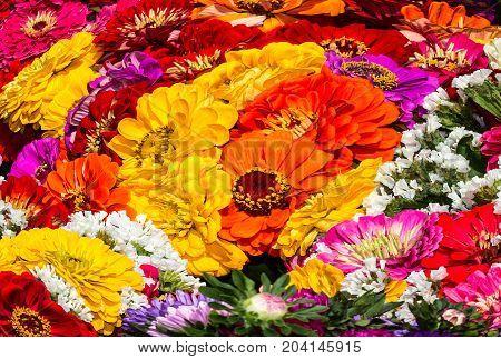 Beautiful background of vivid multicolored zinnia flowers (Zinnia elegans)