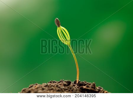 Conifer Sprout