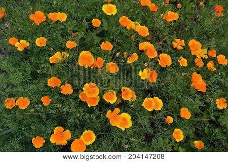 California poppies eschscholzia blossoming background in summer garden