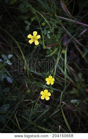 buttercup yellowcup Ranunculus crowfoot spearwort golden-cup blossom in dark background