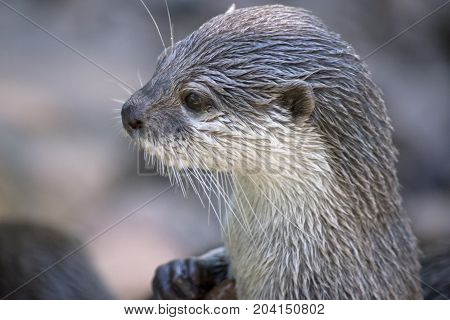 this is a close up of a oriental otter
