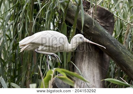 the yellow billed spoonbill is standing in a tree