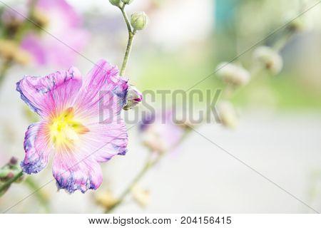 Beautiful violet flower. Flora . Nature .