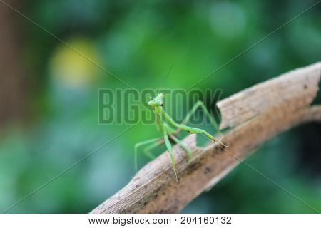 A baby Praying Mantis at rest on branch