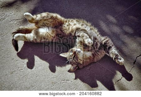 Happy cat rolling on cement in the sunshine