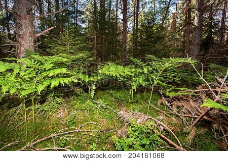 Deep forest with pine trees and fern in summer day