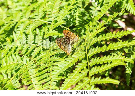 Two butterfly mating on green leaf of fern