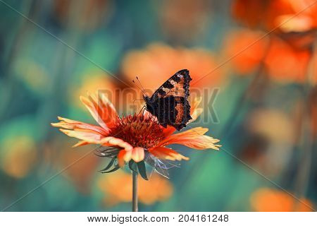 l butterfly collects nectar from an orange flower on a Sunny meadow in the summer