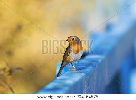 cute funny little orange bird Robin sitting on a blue wooden fence on a Sunny day
