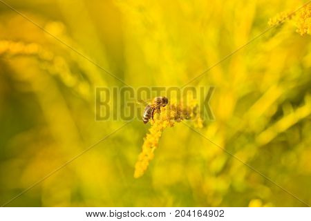 Solidago goldenrod yellow flowers in summer. Lonely bee sits on a yellow flowering goldenrod and collects nectar