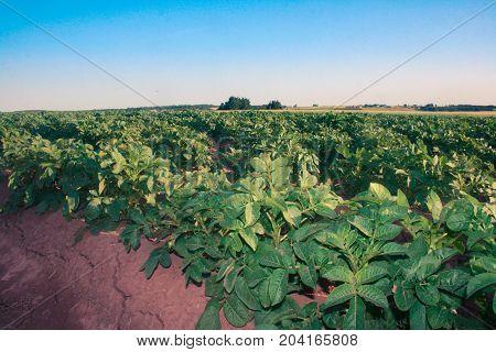 Row of potato plants in prince Edward island