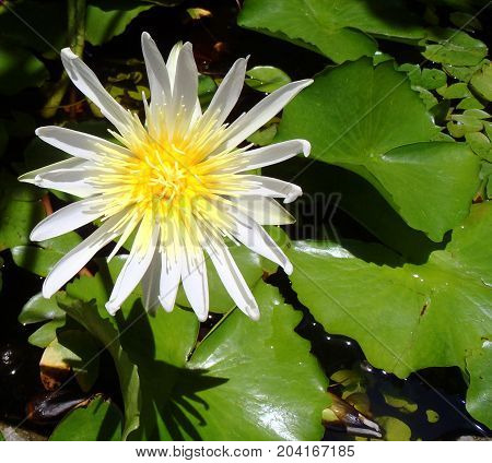 Lotus flower close up photo in Asia