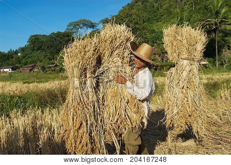 CHIANG MAI, THAILAND - NOVEMBER 15, 2008: Unidentified man of Chan hill tribe harvests rice in Chiang Mai, Thailand.