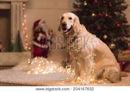 Golden Retriever Dog In Garland