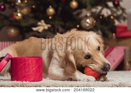 Golden Retriever Dog At Christmas Eve