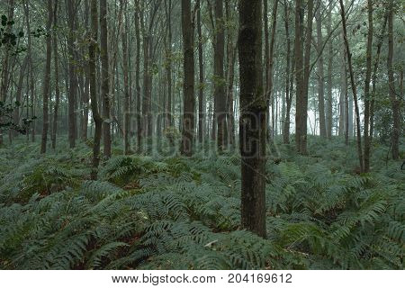 Tree Trunks And Ferns In Misty Forest.