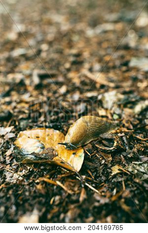 Close-up Of Slug On Forest Ground Covered In Leaves.