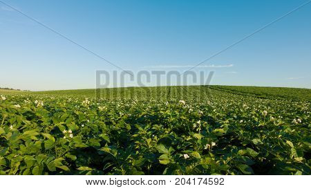 Potato field and sky at beautiful day. Green field of potatoes.