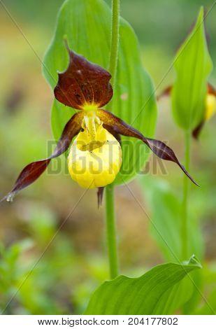 Cypripedium calceolus. moccasin flower .t imber plant