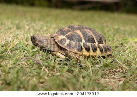 A Forests Turtle Walking On A Green Grass