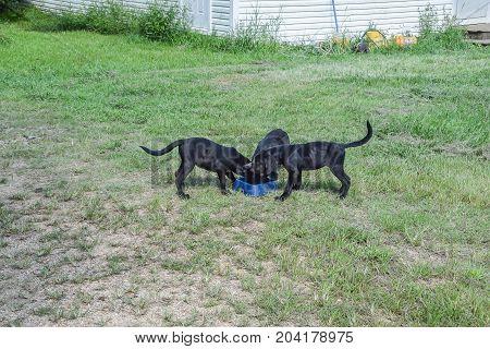 Three black labrador retriever puppies eating from a food pan.