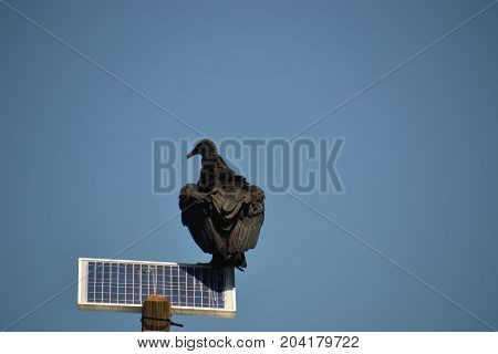 black vultures are very big and ugly birds