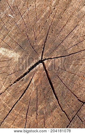 Closeup of the rings of a newly cut tree