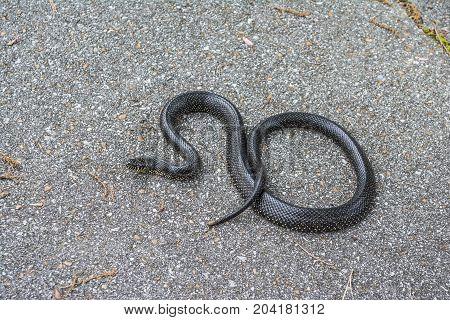 A black king snake isolated on a paved asphalt background.