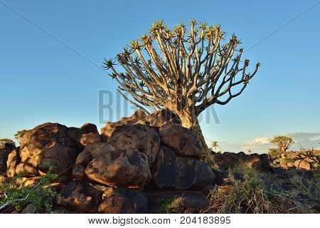 Quiver Tree Forest outside of Keetmanshoop Namibia. Magical trees against mystical sunset